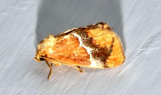 1June2011-moth2 - Lithacodes fasciola