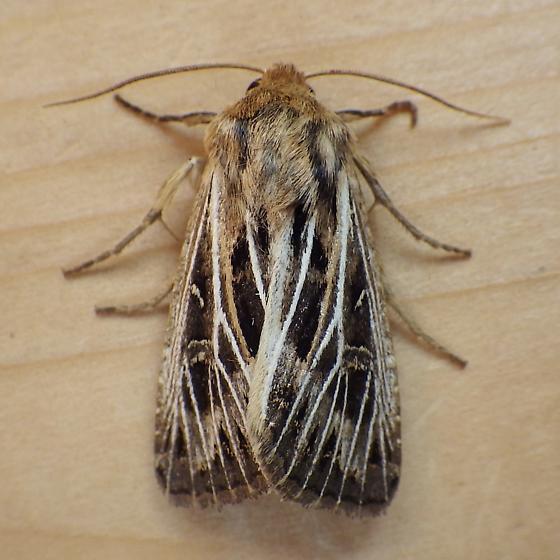 Noctuidae: Apamea niveivenosa - Apamea niveivenosa