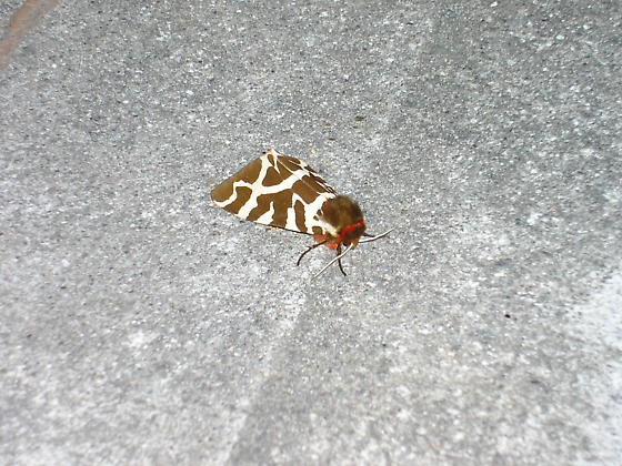 Giraffe colored wing moth - Arctia caja