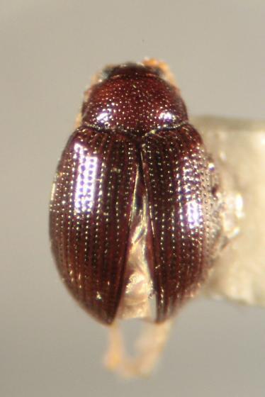 Chrysomelid - Epitrix brevis