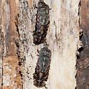Firefly Molt?? - Pyractomena borealis