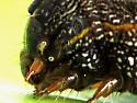 Yellow-striped Armyworm moth caterpillar - Spodoptera ornithogalli