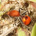 Velvet ant - Dasymutilla bioculata
