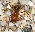 Harvester Ant - Pogonomyrmex californicus - female