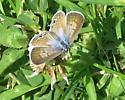 Marine Blue Butterfly  - Leptotes marina