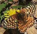 Sagebrush Checkerspot on Dandelion - Chlosyne acastus - female