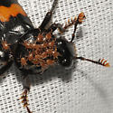 Nicrophorus orbicollis - Roundneck Sexton Beetle? - Nicrophorus orbicollis