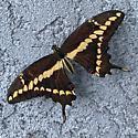 Swallowtail - Papilio rumiko
