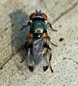 small fly - Euxesta pechumani - female