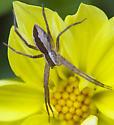 Nursery web spider? - Pisaurina mira