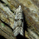 Myelopsis sp