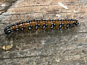 orange-brown cat with black spots and white spines - Uresiphita reversalis