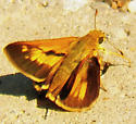 Dion skipper - Euphyes dion - male