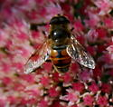 another fly - Eristalis tenax