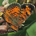 Crescent - is it a Pearl? - Phyciodes tharos