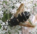 Another fly, Stratiomyidae. possibly Stratiomyis - Stratiomys badia - female
