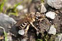 Unknown bee - Halictus farinosus