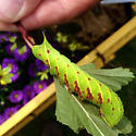 Hornworm - Paonias excaecata