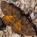 moth - Ematurga amitaria