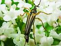 long horned beetle - Analeptura lineola