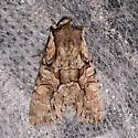 Speckled Cutworm - Lacanobia subjuncta