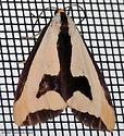 Clymene Moth - Hodges#8107 - Haploa clymene