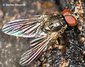 Fly at Sugar Maple Seep - male