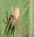 Striped Spider - Larinia borealis
