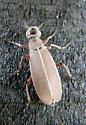 Beetle - Epicauta nigritarsis