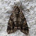 Sphinx Moth - Ceratomia undulosa