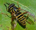 hoverfly - Spilomyia longicornis