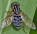 Syrphid fly - Lejops lineatus - female