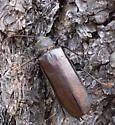 Bark Beetle? - Trichocnemis spiculatus - female