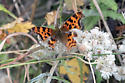 Butterfly - possibly  Polygonia oreas? - Polygonia satyrus