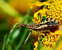 Unknown assassin bug - Sinea - female