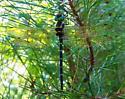 Dragonfly - Macromia taeniolata