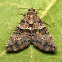 Coenipeta bibitrix - Hodges #8665 - Coenipeta bibitrix