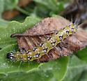 caterpillar - Uresiphita reversalis