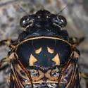 Unknown Cicada - Okanagana
