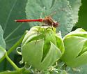 What dragonfly? - Sympetrum vicinum