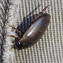 unknown diving beetle - Rhantus