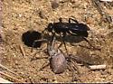 Spider Wasp with prey - Priocnemis minorata - female
