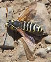 Yellow and Black Hymenopteran - Pseudomasaris zonalis - male