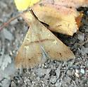 Discolored Renia Moth - Renia discoloralis