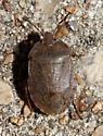 unidentified Pentatomidae - Menecles insertus