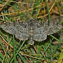 Salt & pepper moth - Biston betularia - male