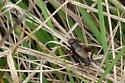 All brown, long antennae - Allonemobius allardi - male