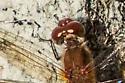 Meadowhawk Dragonfly - Sympetrum vicinum