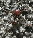 Unknown ant - Pheidole obscurithorax