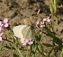Margined White - Pieris marginalis